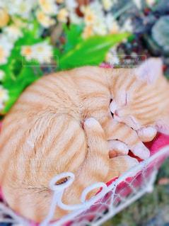 眠り猫の写真・画像素材[1576945]