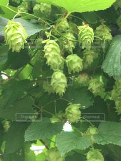 緑の葉に囲まれた木のクローズアップの写真・画像素材[2365495]