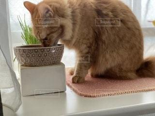 テーブルの上に座っている猫の写真・画像素材[3357025]