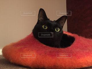 カメラを見ている猫の写真・画像素材[1516789]