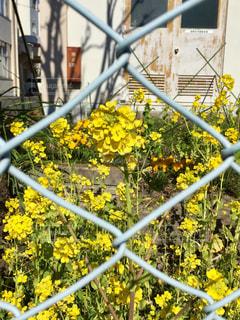 フェンス越しの菜の花の写真・画像素材[1503622]