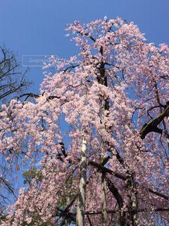 大きなしだれ桜の写真・画像素材[1644851]