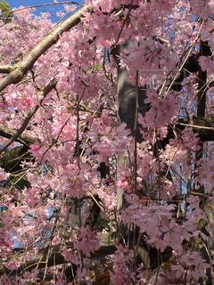 しだれ桜の写真・画像素材[1644852]