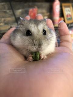 手で小さな齧歯動物の写真・画像素材[1511144]