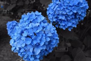 紫陽花の写真・画像素材[1507293]