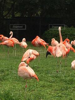 フラミンゴの群れの写真・画像素材[1507979]