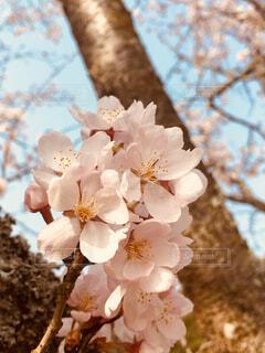 桜アップの写真・画像素材[1523446]