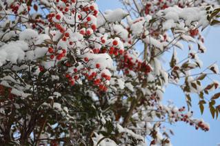 雪に覆われた木の写真・画像素材[1523460]