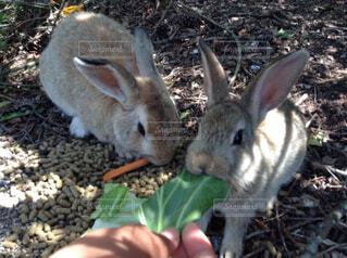 可愛いウサギさんの写真・画像素材[1537051]