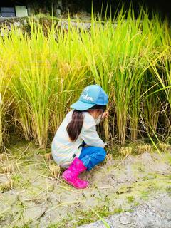 稲刈りシーズン到来の写真・画像素材[1564903]