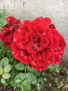 真っ赤な薔薇の写真・画像素材[2448762]