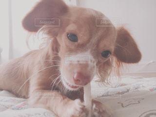 可愛い我が家のアイドル犬の写真・画像素材[2679016]