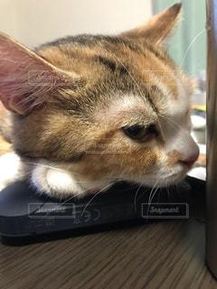 木製テーブルの上でiQOSまくらにしている猫の写真・画像素材[1507857]