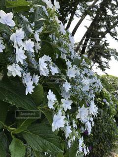 紫陽花の写真・画像素材[1508216]