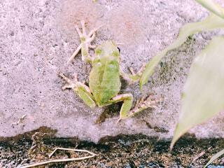 植物にカエルの写真・画像素材[1509192]