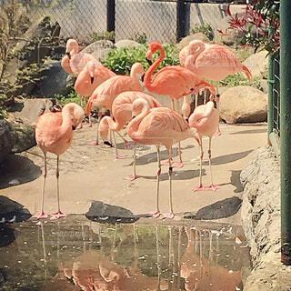 野毛山動物園のフラミンゴの写真・画像素材[1722397]