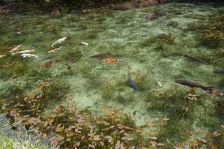モネの池の写真・画像素材[2674122]