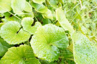 ふきの葉についた雨粒☔️の写真・画像素材[2675062]