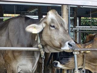牛の写真・画像素材[2875045]