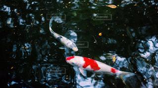 池の中の鯉の写真・画像素材[1656506]