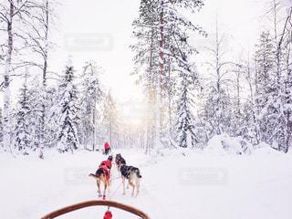フィンランドでの犬ぞり体験の写真・画像素材[1751178]