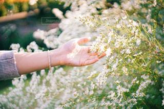 花に添える手の写真・画像素材[1790334]