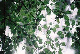 雨に濡れた葉の写真・画像素材[1804904]
