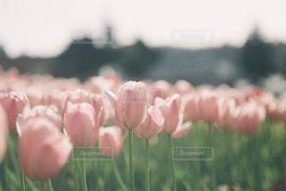 ピンクのチューリップの写真・画像素材[1805071]