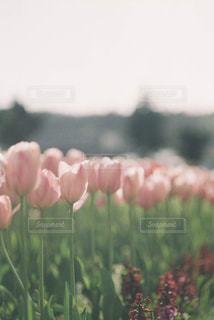 ピンクのチューリップの写真・画像素材[1805072]
