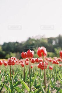 赤いチューリップの写真・画像素材[1805079]