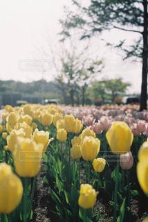 黄色のチューリップの写真・画像素材[1805088]
