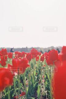 赤いチューリップの写真・画像素材[1805091]
