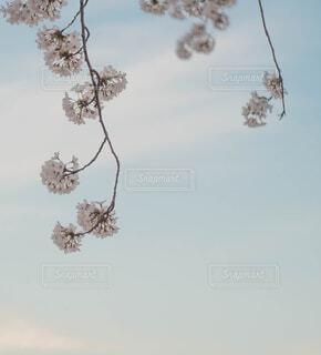 桜のアップの写真・画像素材[1822186]