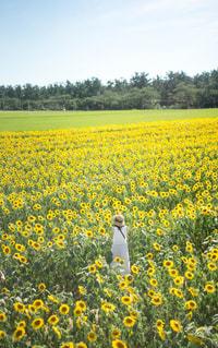 ひまわり畑と白ワンピの写真・画像素材[1822194]
