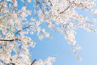 空と桜の写真・画像素材[1833071]