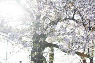 桜の木の写真・画像素材[1833073]