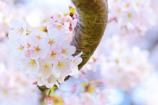 近くの桜のアップの写真・画像素材[1842543]