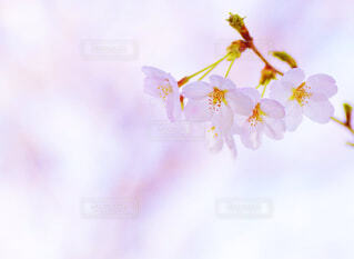 近くの桜のアップの写真・画像素材[1842544]
