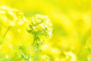 菜の花のアップの写真・画像素材[1842545]