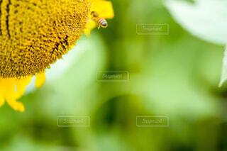 ひまわりと蜂の写真・画像素材[1842547]