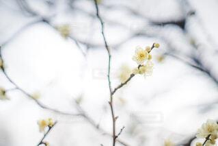 梅の花の写真・画像素材[1859624]