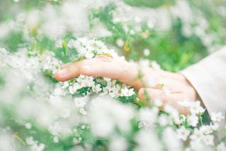 雪柳に触れる手の写真・画像素材[1993558]