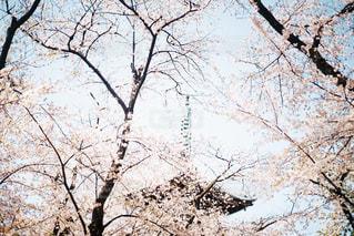 上野恩賜公園の桜の写真・画像素材[1993573]