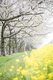 桜並木の写真・画像素材[2129019]