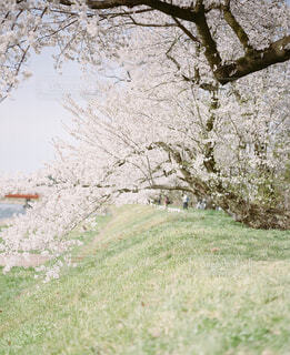 桜並木の写真・画像素材[2129026]