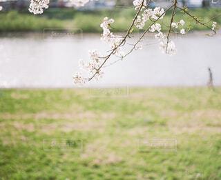 川沿いにさく桜の写真・画像素材[2129027]