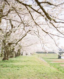 桜並木の写真・画像素材[2129028]