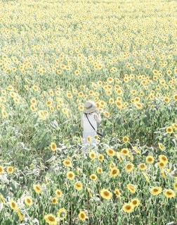 ひまわり畑に埋もれる女性の写真・画像素材[2375158]