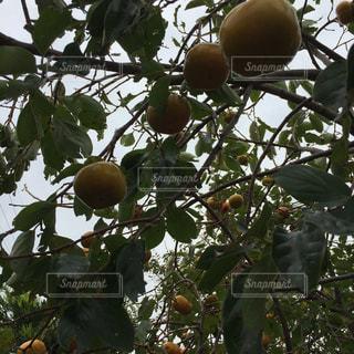 枝からぶら下がっているカキ。の写真・画像素材[1512295]