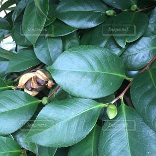 庭の椿に実が出来ました。の写真・画像素材[1513333]